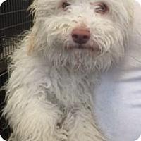 Adopt A Pet :: Gordy-Labradoodle? - Canoga Park, CA
