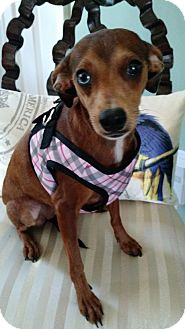 Dachshund/Chihuahua Mix Dog for adoption in Floral City, Florida - Millie