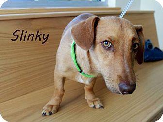 Dachshund Mix Dog for adoption in Edgewood, New Mexico - Slinky