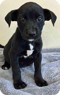 Labrador Retriever Mix Puppy for adoption in Gahanna, Ohio - ADOPTED!!!   Charlotte