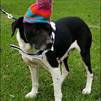 Labrador Retriever Mix Dog for adoption in Huntington, New York - Wilmington-N-Mom & Son