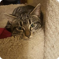 American Shorthair Cat for adoption in Naugatuck, Connecticut - Roo