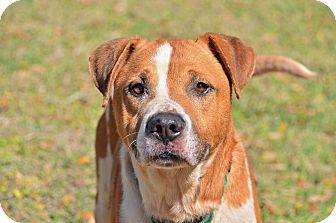 American Bulldog Mix Dog for adoption in Brooksville, Florida - BEAR