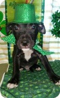 Labrador Retriever/Pit Bull Terrier Mix Puppy for adoption in Detroit, Michigan - Patrick