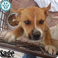 Adopt A Pet :: Sage - Kimberton, PA