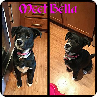 Border Collie/Shepherd (Unknown Type) Mix Puppy for adoption in Fredericksburg, Virginia - Bella