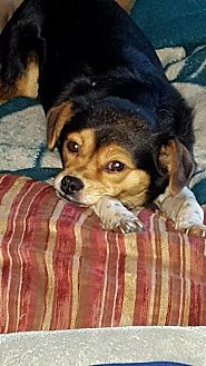 Beagle/Chihuahua Mix Dog for adoption in Tenafly, New Jersey - Missy