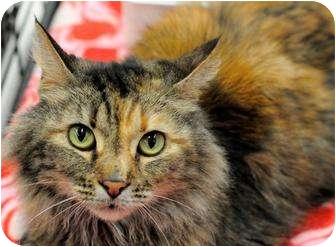 Maine Coon Cat for adoption in Harrisburg, North Carolina - Maggie Mae