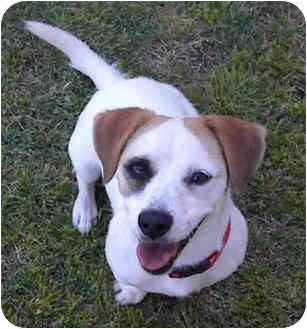 Jack Russell Terrier Mix Dog for adoption in Phoenix, Arizona - MISSY
