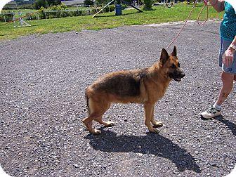 German Shepherd Dog Dog for adoption in Tully, New York - SHANA