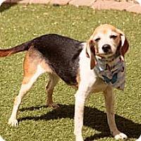Adopt A Pet :: Jersey Girl - Phoenix, AZ