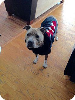 American Staffordshire Terrier Mix Dog for adoption in West Richland, Washington - Lulu