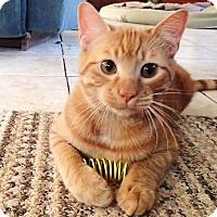 Domestic Mediumhair Kitten for adoption in Bedford, Virginia - Cinnamon