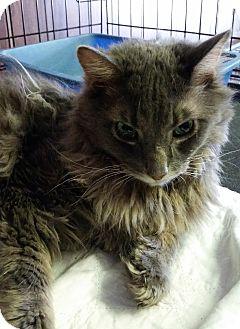 Maine Coon Cat for adoption in Bronx, New York - Bridges