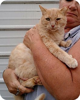 Domestic Mediumhair Cat for adoption in Macomb, Illinois - Louie