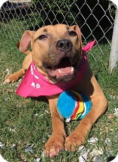 Pit Bull Terrier Mix Dog for adoption in Greensboro, North Carolina - Darlene