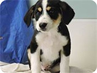 Beagle/Rat Terrier Mix Puppy for adoption in Cottonport, Louisiana - Bubba