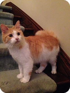 Domestic Longhair Cat for adoption in Bryn Mawr, Pennsylvania - Cocopuff/ Maine Coon Mix