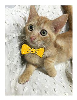 Domestic Shorthair Kitten for adoption in Paducah, Kentucky - Ivan