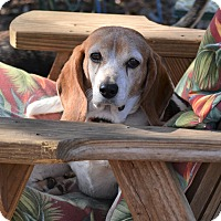 Adopt A Pet :: Beagle Bailey - Melrose, FL