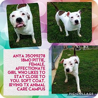 Pit Bull Terrier Mix Dog for adoption in Irving, Texas - Anya