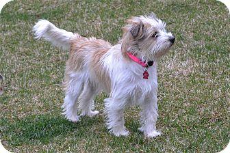 Parson Russell Terrier/Shih Tzu Mix Puppy for adoption in Upper Marlboro, Maryland - Rika