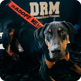 Doberman Pinscher Dog for adoption in Minneapolis, Minnesota - Cole