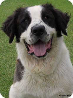 St. Bernard/St. Bernard Mix Dog for adoption in Glendale, Arizona - TOBY