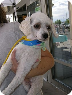 Toy Poodle Mix Dog for adoption in Las Vegas, Nevada - Chip