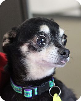 Chihuahua Dog for adoption in Mount Gretna, Pennsylvania - Doug