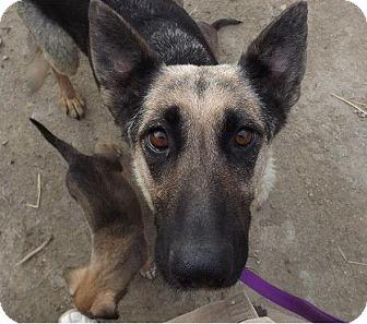 German Shepherd Dog Dog for adoption in Clinton, Maine - Momma