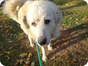 Great Pyrenees Dog for adoption in Danbury, Connecticut - Hopson
