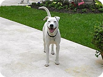 American Staffordshire Terrier Mix Dog for adoption in Houston, Texas - Marley
