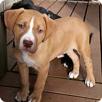 Adopt A Pet :: Baloo - Seattle, WA