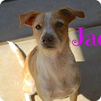 Adopt A Pet :: Jack Terrier - Scottsdale, AZ