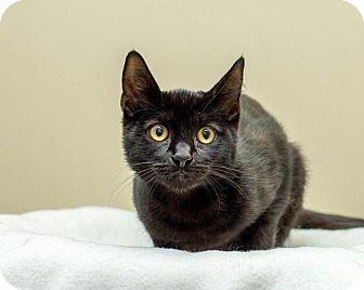 Domestic Shorthair Cat for adoption in Bellingham, Washington - Kiki