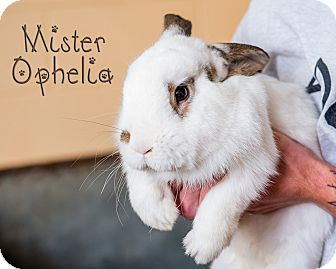 American Mix for adoption in Somerset, Pennsylvania - Ophelia