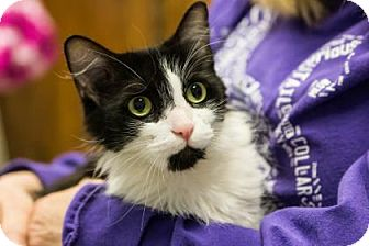 Domestic Mediumhair Cat for adoption in Lowell, Massachusetts - Martini