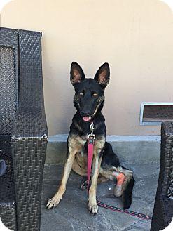 German Shepherd Dog Puppy for adoption in West LA, California - Faith