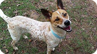 Australian Cattle Dog/Shiba Inu Mix Dog for adoption in Denver, Colorado - LeeLoo