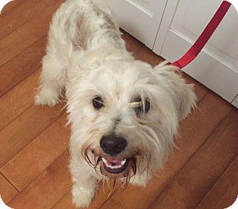 Schnauzer (Miniature)/Poodle (Miniature) Mix Dog for adoption in Redondo Beach, California - Bubbles