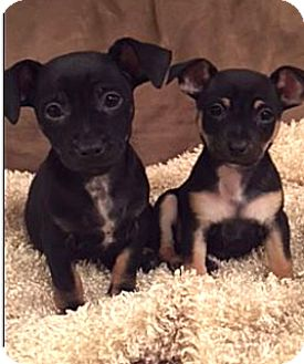 Chihuahua/Dachshund Mix Puppy for adoption in Greenfield, Wisconsin - Louis