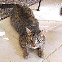 Domestic Shorthair Cat for adoption in Tampa, Florida - Ms Di