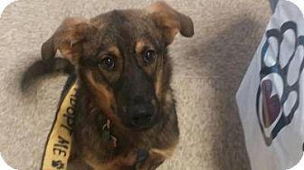 Shepherd (Unknown Type) Mix Dog for adoption in Media, Pennsylvania - Ted