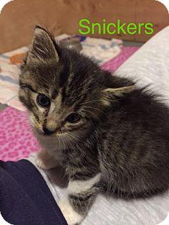 Domestic Mediumhair Kitten for adoption in Fort Leavenworth, Kansas - Snickers