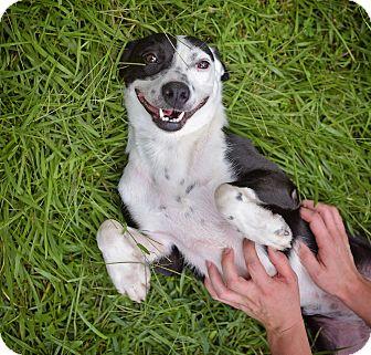 Australian Cattle Dog Mix Dog for adoption in Covington, Louisiana - Iris