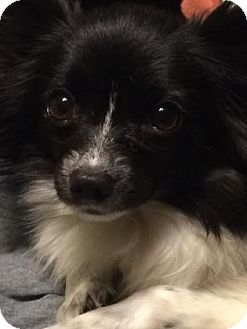 Papillon Dog for adoption in Nationwide, Maryland - Layla (in Maryland)
