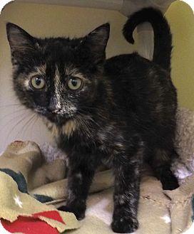 Domestic Shorthair Cat for adoption in Buena Vista, Colorado - Tess