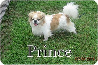 Pekingese/Japanese Chin Mix Dog for adoption in Greensboro, Maryland - Prince