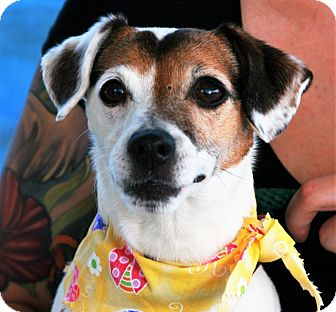 Jack Russell Terrier Dog for adoption in Toms River, New Jersey - Samantha